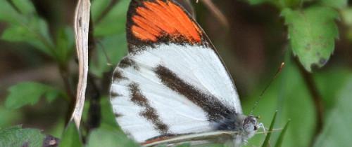 Bushveldt Orange-tip Butterfly. Photo by P. Usher.
