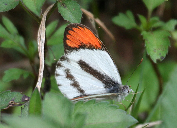 Bushveldt Orange-tip Butterfly. Photo by P. Usher.