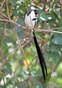 Pin-tailed Whydah by P Usher