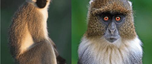 Sykes_and_Vervet_Monkeys_50