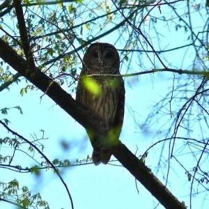 Congaree National Park owl
