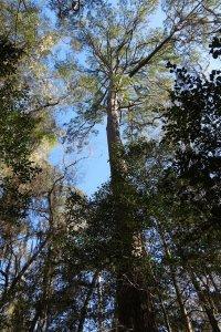 National Champion Loblolly Pine
