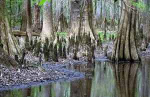 Site 4 Baldcypress knees