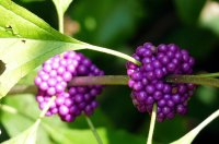 Site-6-Beautyberry