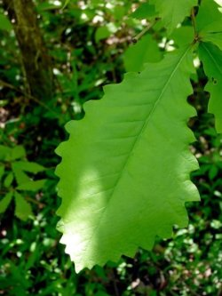 Site 9 Swamp Chestnut Oak leaf