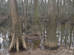 Site-4-Tupelo-and-Bald-Cypress