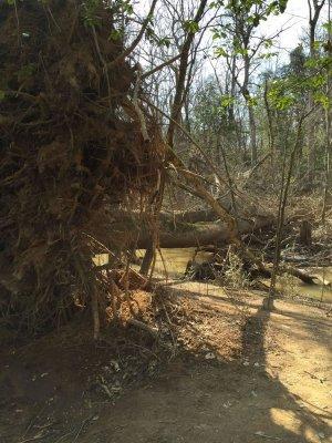Site-6-Fallen-Cherrybark-Oak-across-Gut