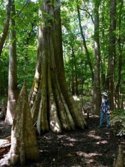 Site-8-Harry-Hampton-Bald-Cypress