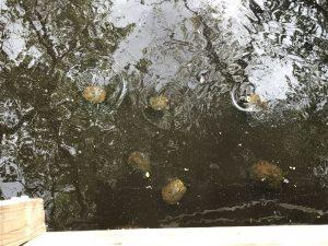 Slider Turtles at Weston Lake