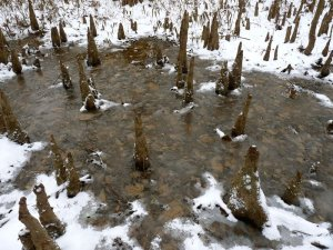 Cypress Knees in Snow