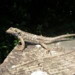 http://friendsofedgewood.org/western-fence-lizard