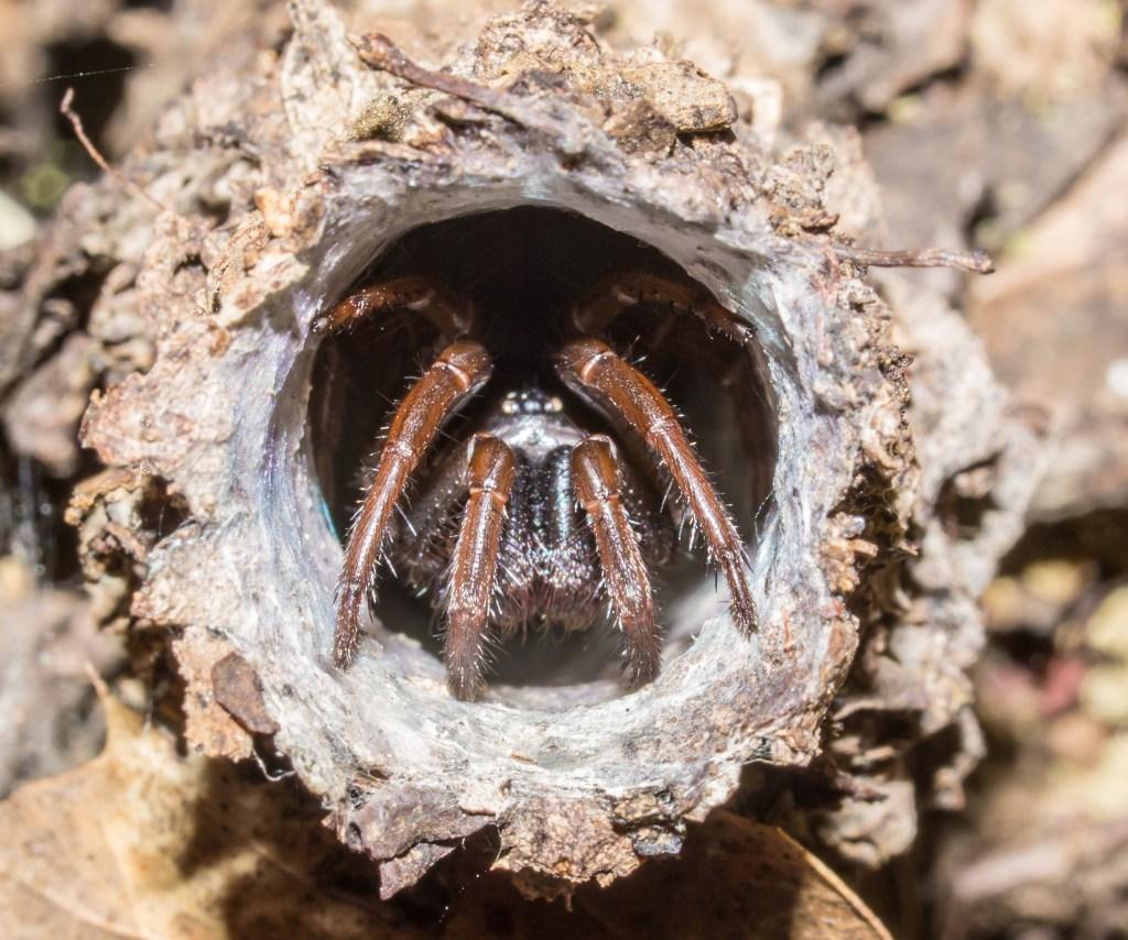 http://friendsofedgewood.org/turret-spider