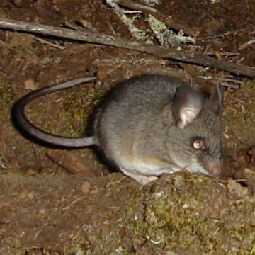 California mouse depends on dusky-footed woodrat for housing.