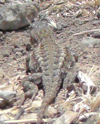 Possibly pregnant female Western Fence Lizard (Sceloporus occidentalis).