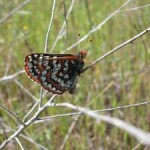 http://friendsofedgewood.org/bay-checkerspot-butterfly