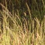 Italian rygrass