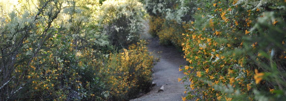 Clarkia trail in Spring