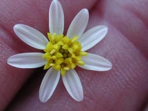 White-rayed pentachaeta Close-up