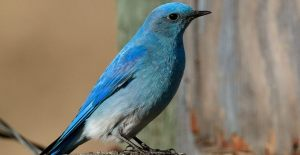 Mountain Bluebird - Paul Turbitt