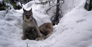 Lynx photo courtesy of Mike Jokinen, ACA