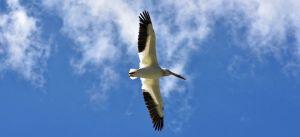 Pelican - ReWilding Through Restoration