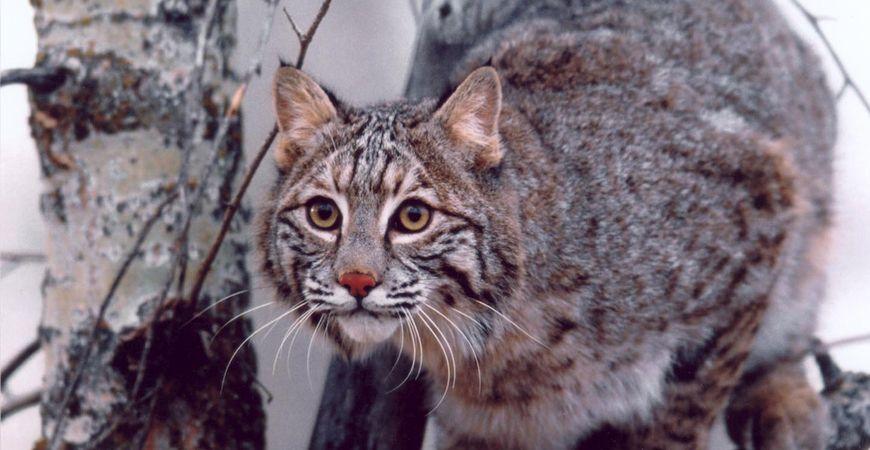 Bobcat, Douglas Schmidt