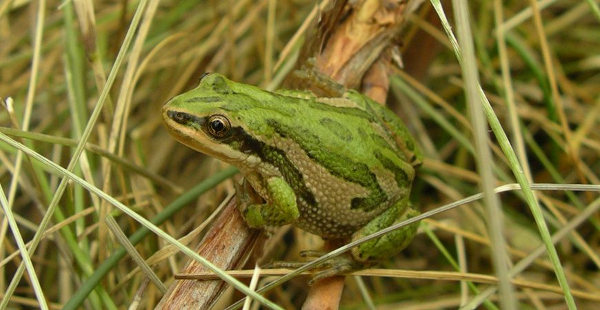 Boreal Chorus Frog, Kris Kendell