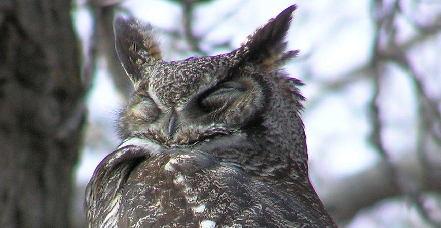 Great Horned Owl, Anne Elliott
