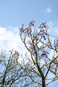 Paulownia tomentosa - Foxglove Tree at Corner House