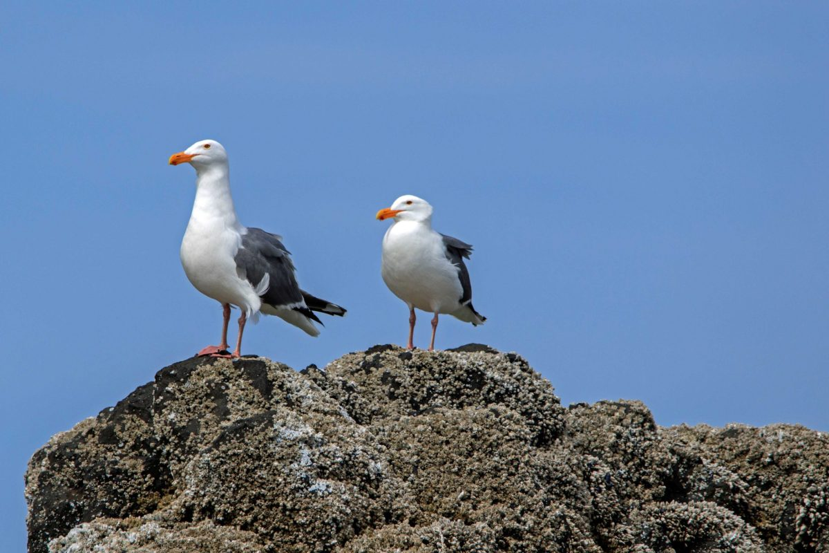 Anne Rapp Where's the puffins 3
