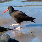 Black-Oystercatcher-1-Raymond-Houser