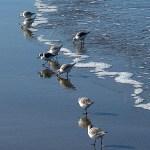 Sanderlings-Raymond-Houser