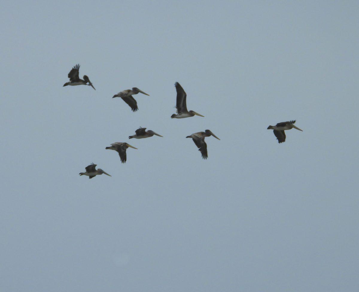 pelicans - Shirin Doratotaj