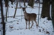 HRA SNow Deer