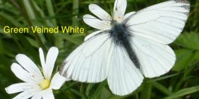 green-veined-white