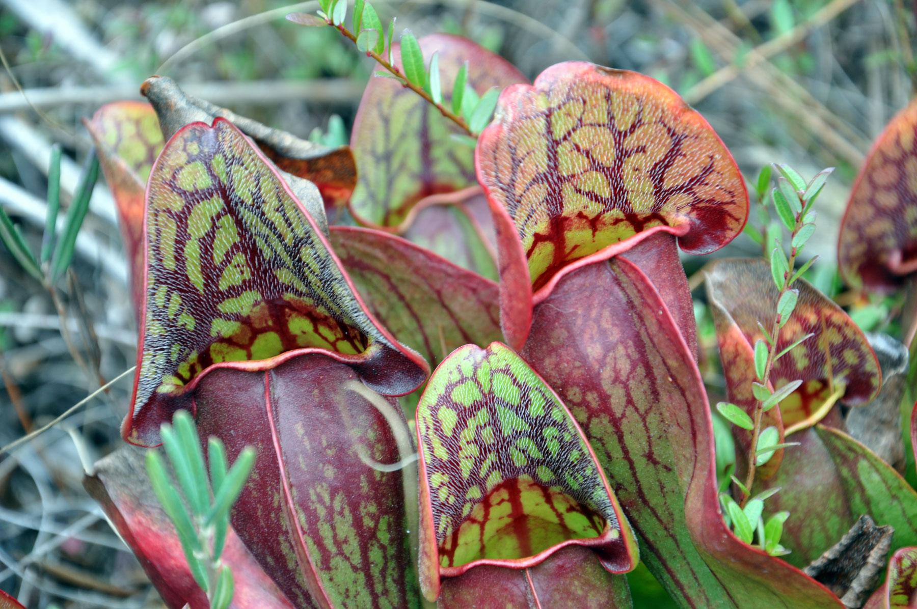 pitcher plants on Stockton Island