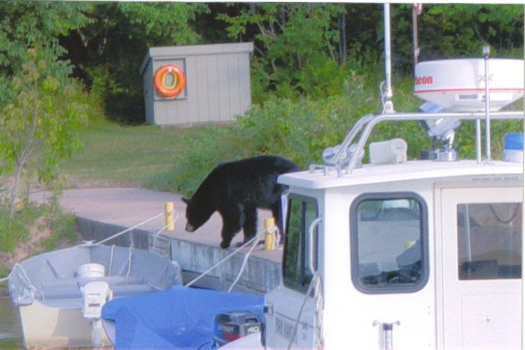 Black bear on the Presque Isle dock at Stockton Island