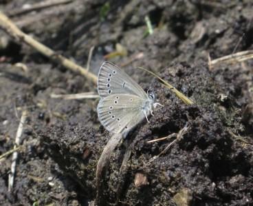 Silvery Blue