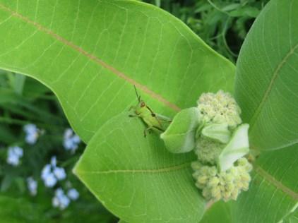 Grasshopper on Milkweed
