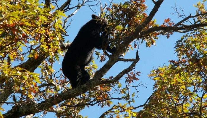 bear eating white oak acorns