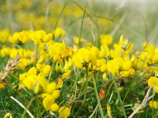 birdsfoot trefoil, Tiree