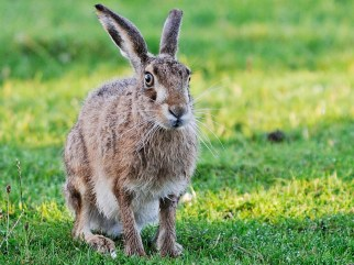 hare on Tiree