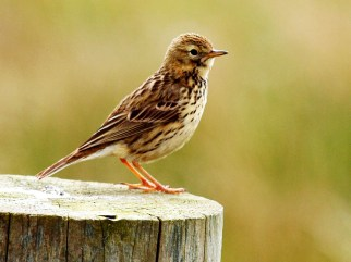 meadow pipit on Tiree