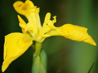 flag iris, Tiree