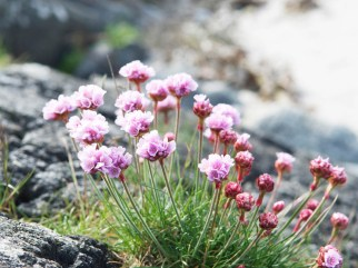 sea pinks, Tiree
