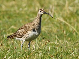 whimbrel, Tiree