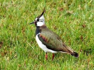 lapwing on Tiree