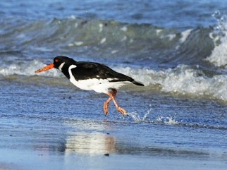 oystercatcher, Tiree