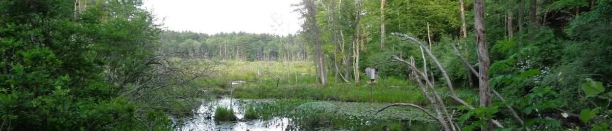 Upton State Forest bog