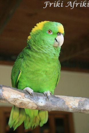 Wesoła papużka wita wszystkich skrzekliwym !Hola!